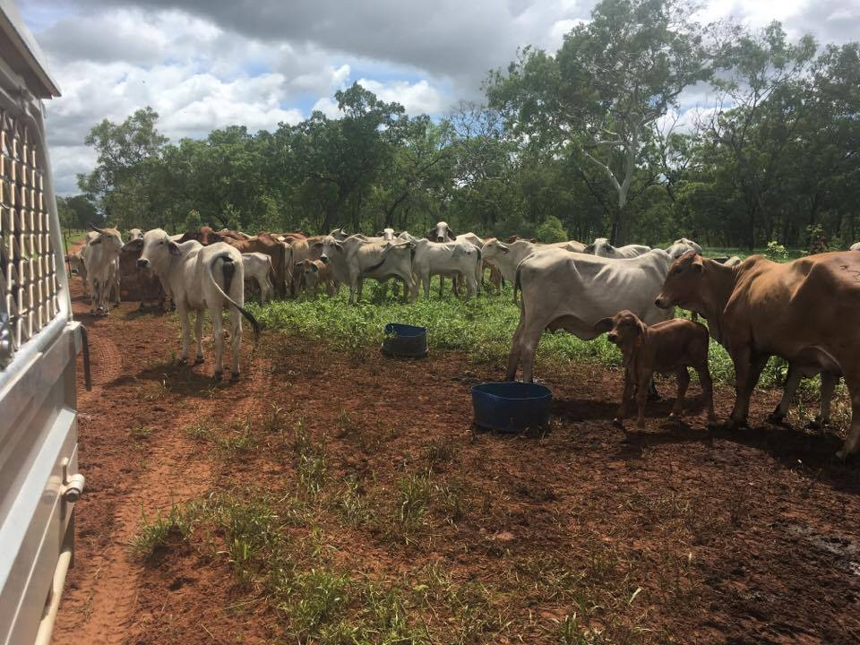 Figure 1: Cattle herd investigated following losses