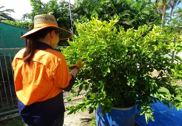 Plant health inspectors are out and about in Darwin checking citrus for canker symptoms.