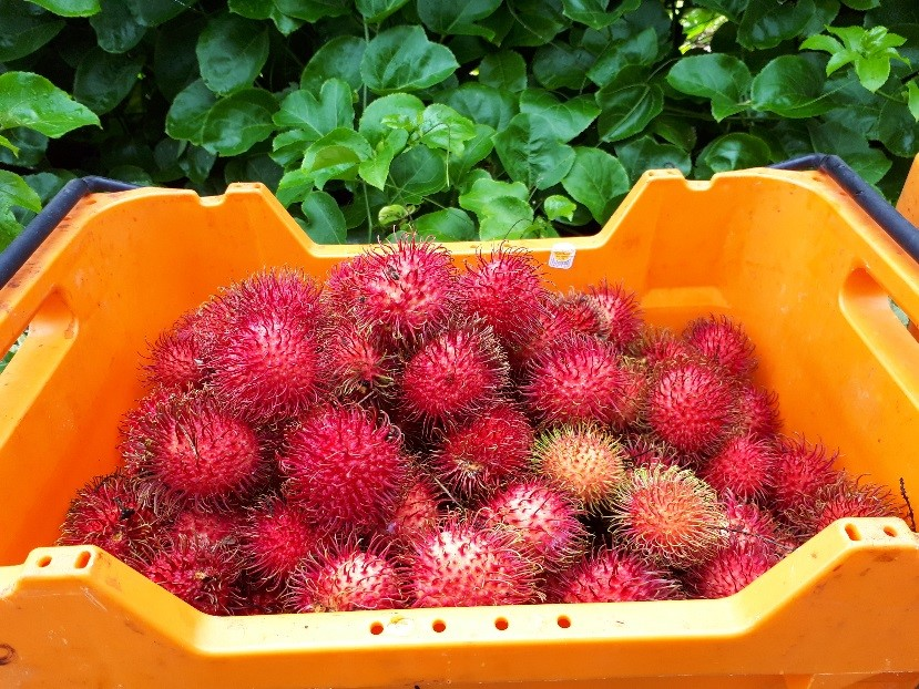Rambutan harvested from CPRF