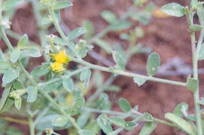 Crotalaria crispata flower