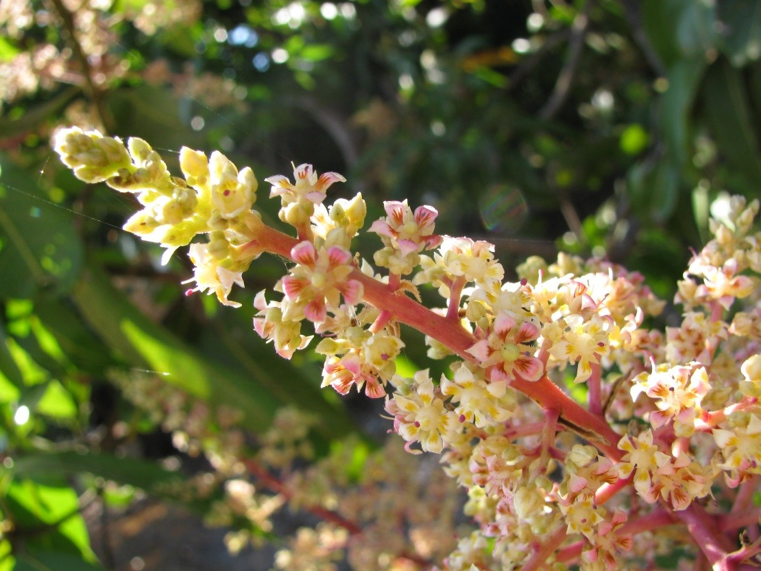 Figure 1: Mango flowers in full bloom.
