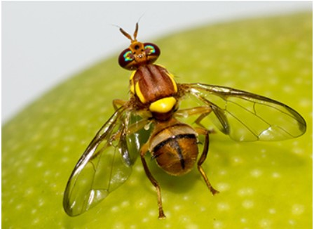 Ti Tree fruit fly