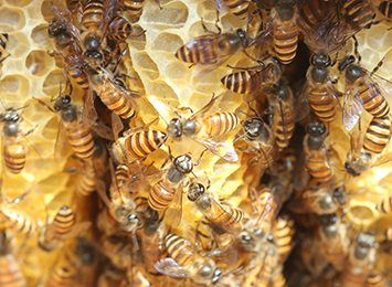 A swarm of Asian honey bees has been detected in Darwin